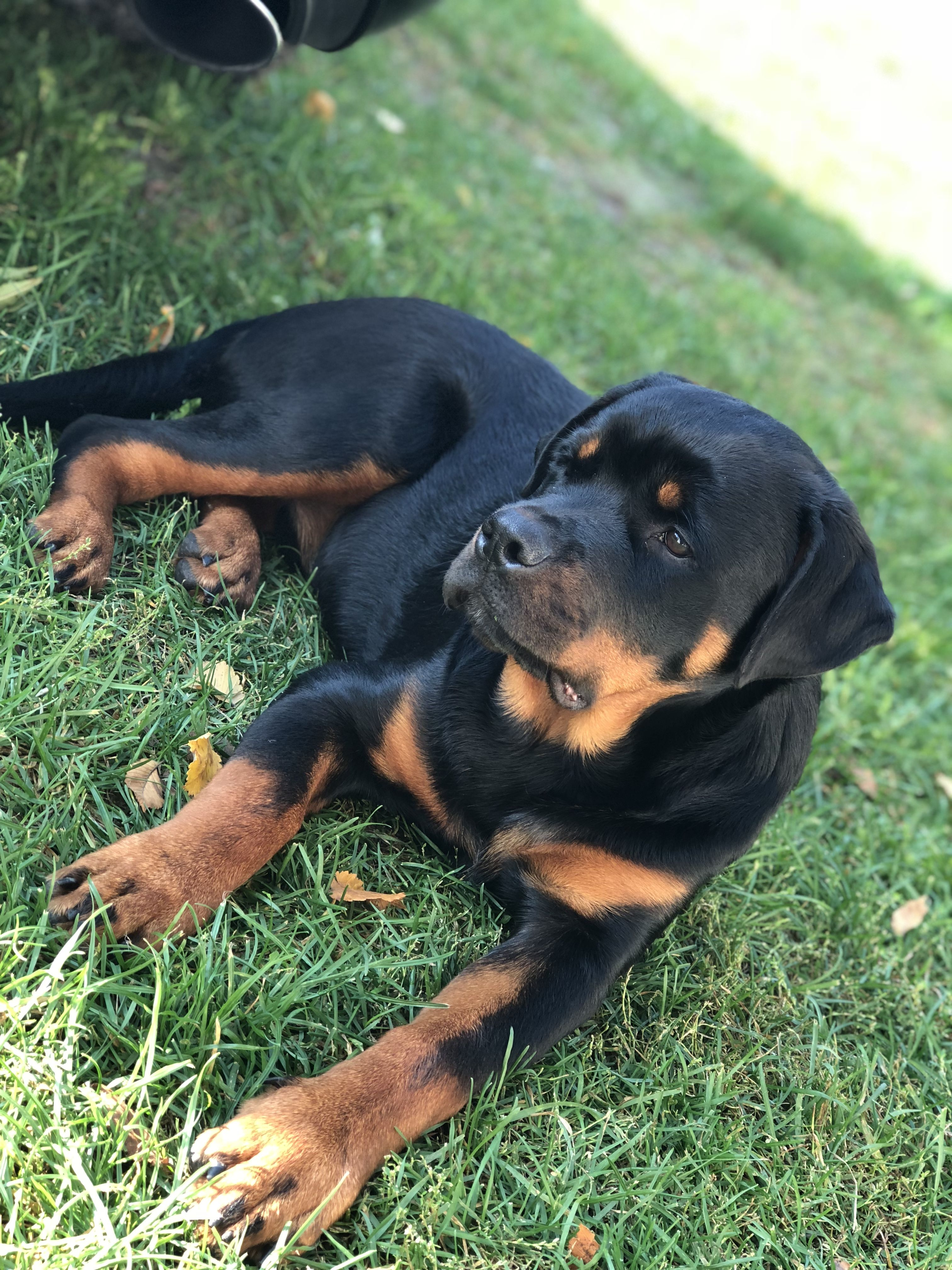 Rottweilers Rottweiler Dog Love With Images Rottweiler