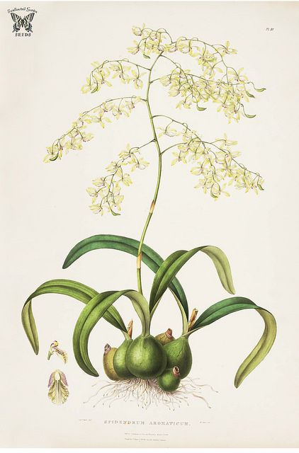 Fragrant Epidendrum. Vanilla mexicana [as Epidendrum aromaticum] The Orchidaceae of Mexico and Guatemala (1837-1843) [Sarah Ann Drake] | by Swallowtail Garden Seeds