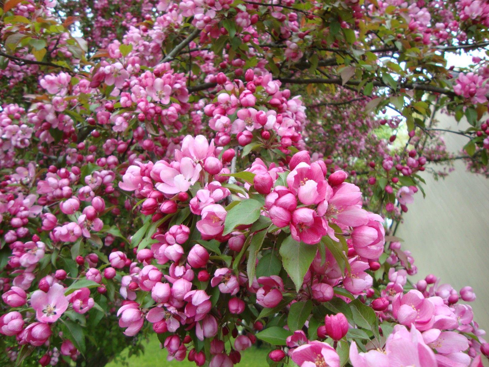 Macintosh Apple Tree Blossoms Apple Flowers Apple Tree Blossoms Trees To Plant