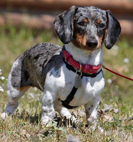 Prada The Dachshund Dachshund Love Dachshund Dog Weiner Dog