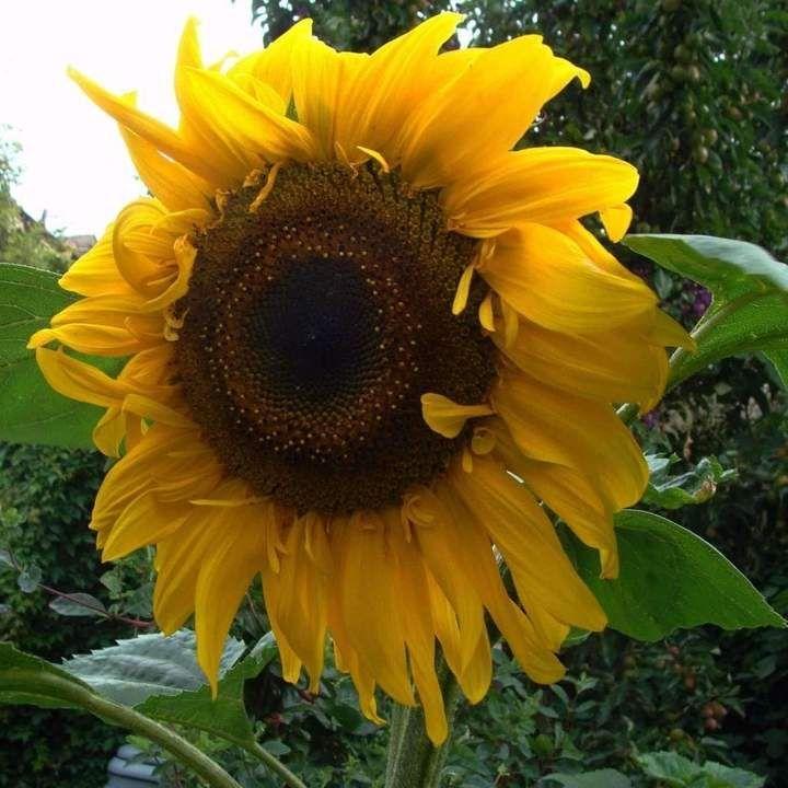 Sunflower Black Russian Helianthus Annuus In 2020 Black Russian Fragrant Plant Sunflower