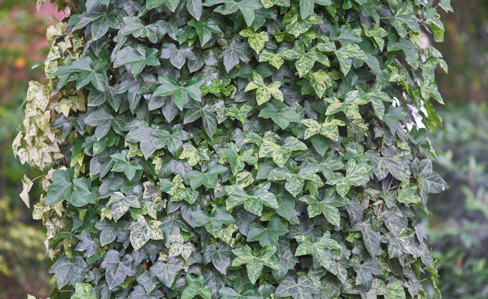 Die besten immergrünen Kletterpflanzen Kletterpflanzen