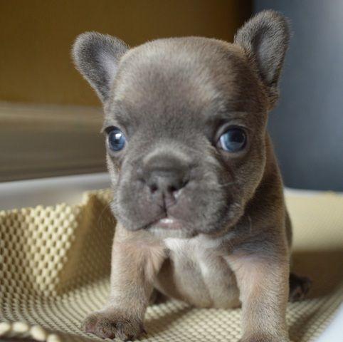 Pinner says French Bulldog aka my dream dog. And I would