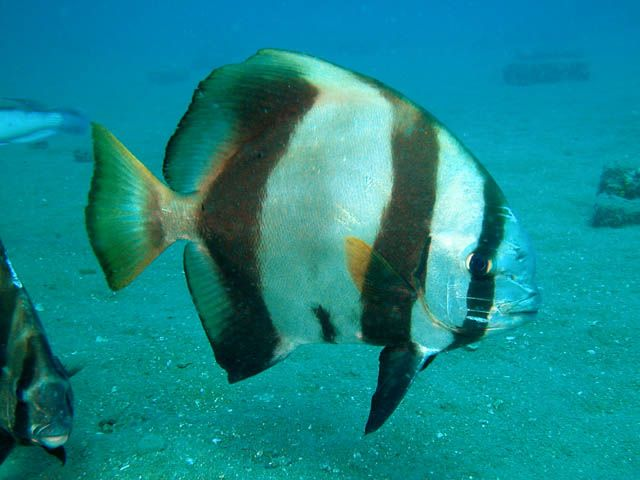 Astronomy To Zoology Batfish Marine Aquarium Saltwater Aquarium Fish