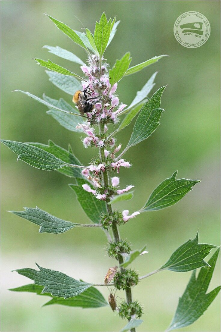 Pin By Wydzial Ogrodnictwa I Biotechn On Ziola W Ogrodzie Plants