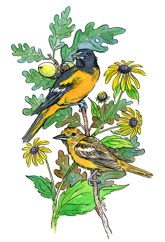Maryland State Symbols Bird Baltimore Oriole Flower Black Eyed Susan And Tree White