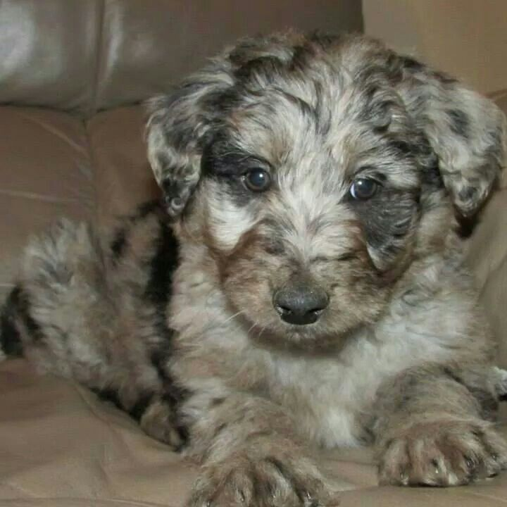 Gabby The Blue Merle Cadoodle Puppy Collie Mix Collie Poodle