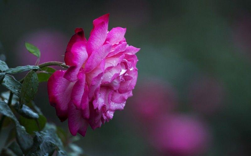 flor color de rosa macro bokeh rocío in Naturaleza y Paisajes. Toneladas de calidad HD gratis para descargar fondos de pantalla y fondos de escritorio y móviles
