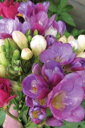 Freesia Bulk Diggers Mix Approx 200 Freesia X Hybrida Fragantes Flowers Love Garden Freesia