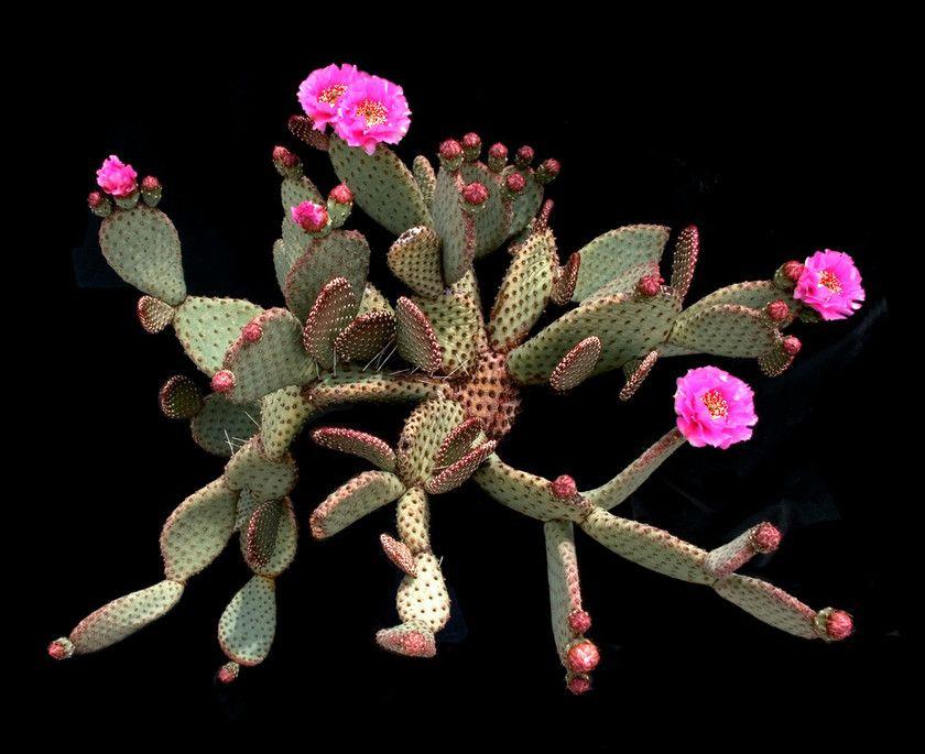 Opuntia basilaris Engelmann