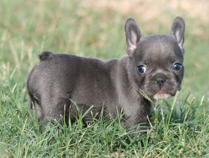 How much for a teacup french bulldog