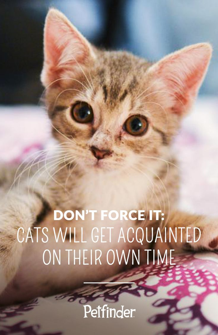 Tips For The First 30 Days Of Cat Adoption Petfinder Cats Cat Adoption Introducing A New Cat