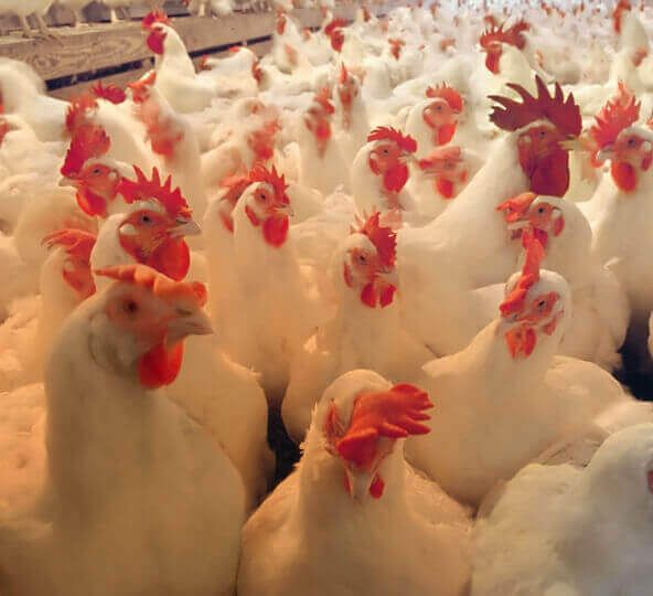 www.lexington.sg/poultry-products.php - Manufacturers, Suppliers & Exporters of Poultry Feed Premixes from Singapore. Our poultry products are Nutritionals, Probiotics, Electrolytes, Toxin Binders, Immunity Enhancers, Liver Stimulants, Enzymes, Nutrient Enhancers, Growth Promoters, Acidifiers, etc.