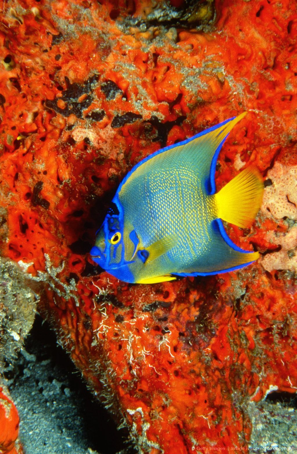 22 Types of Angelfish Color Variations | Angelfish and Fish tanks