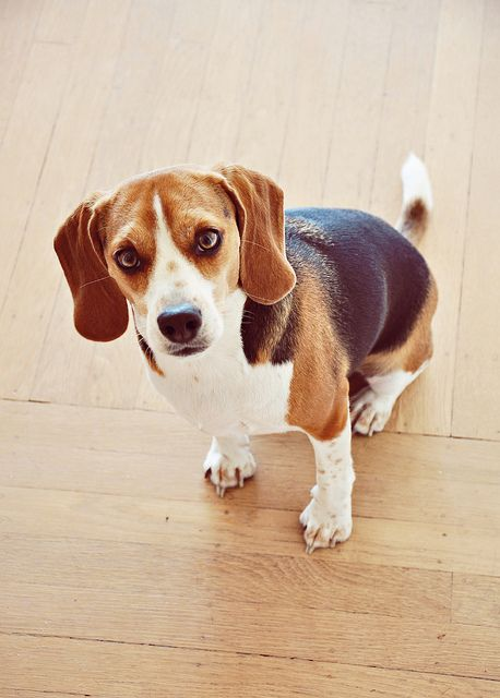Oliver Beagle Puppy Cute Beagles Baby Beagle