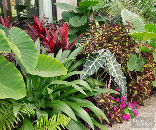 You don't need to live near the equator to enjoy the beauty of tropical plants. As long as the temperatures are hot and humid tropical plants will reward you with colorful foliage and flowers all summer long. This grouping includes Alocasia coleus impatiens African mask plant elephant's ear and Cuphea. #gardendesign #tropical #garden #design #elephantearsandtropicals