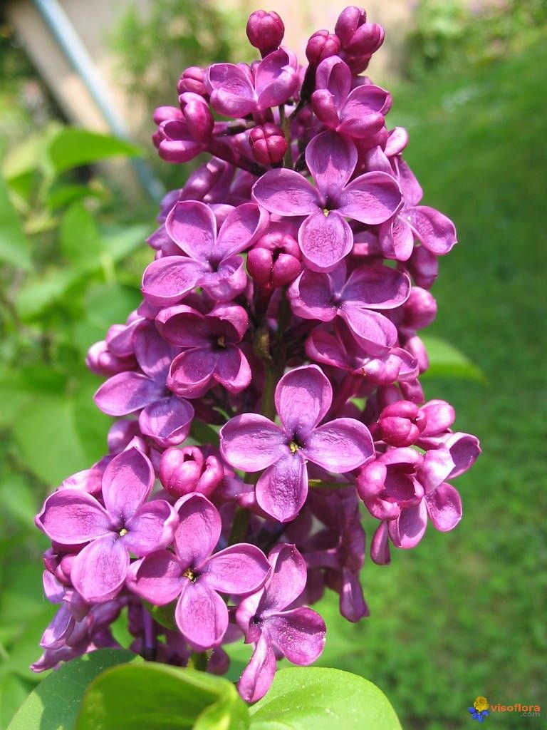 Lilas Flower Smell The Flowers Pinterest Lilas Fleur Lilas