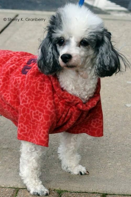 Poodle Toy Long Coat Small Adult Female All About Me Name