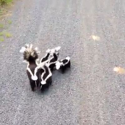 Cute Skunk Family On Evening Walk 😁 - #Cute #Evening #family #kawaii #Skunk #Walk