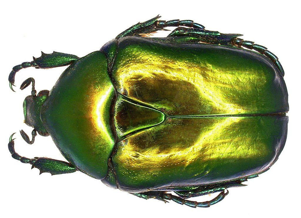 Family: Scarabaeidae Size: 20-30 mm Origin: Europe Location: Yugoslavia, Makarska leg 1975, det. U.Schmidt Photo: U.Schmidt, 2006