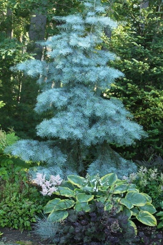 White fir danielle durocher all galleries trees for Small slow growing evergreen trees