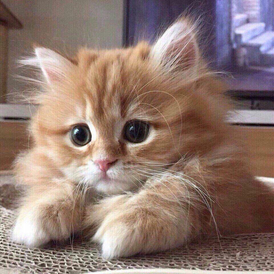 A Fluffy Beauty Kittens Cutest Orange Kittens Cute Baby Cats