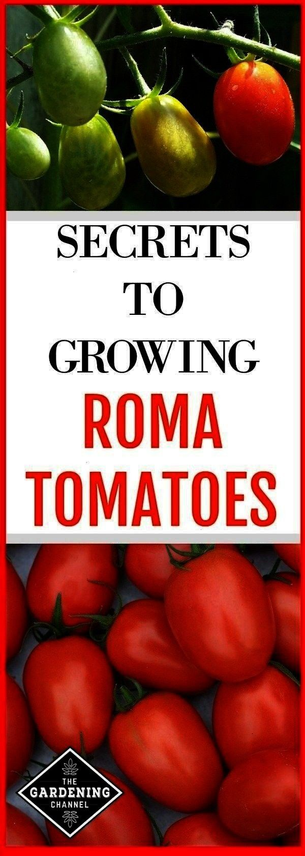 the garden and roma tomato harvest with text overlay secrets to growing roma tomatoesroma tomatoes growing in the garden and roma tomato harvest with text overlay secrets...