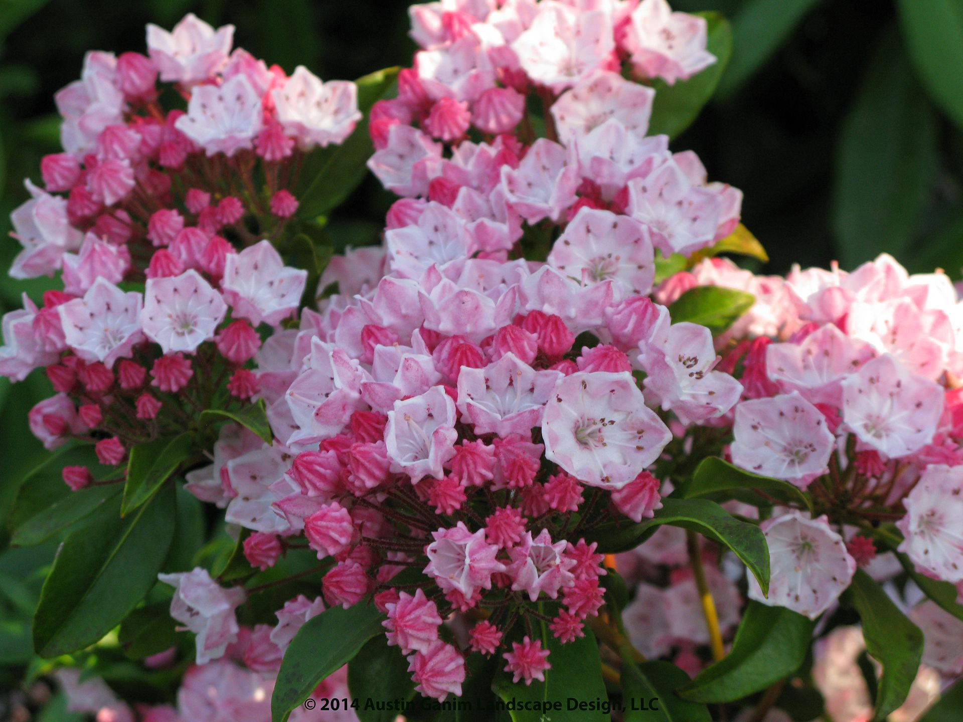 Kalmia Latifolia 'olympic Fire'  Pink Late Spring Flowering Mountain Laurel   Evergreen Shrub