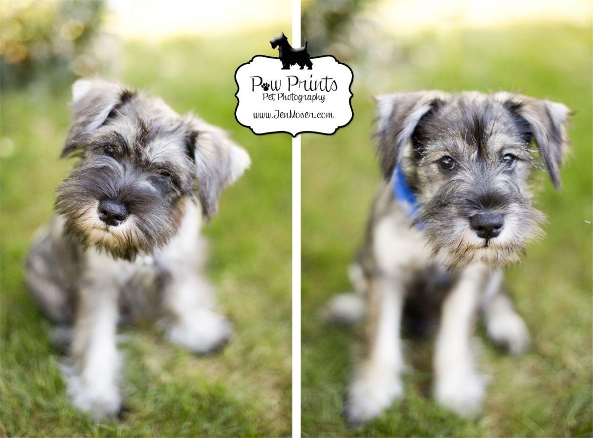 Miniature Schnauzers Charlie Schatzie Perros Animales