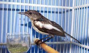 Mengetahui Kapan Dan Berapa Lama Burung Kacer Mabung Burung Nusantara Burung