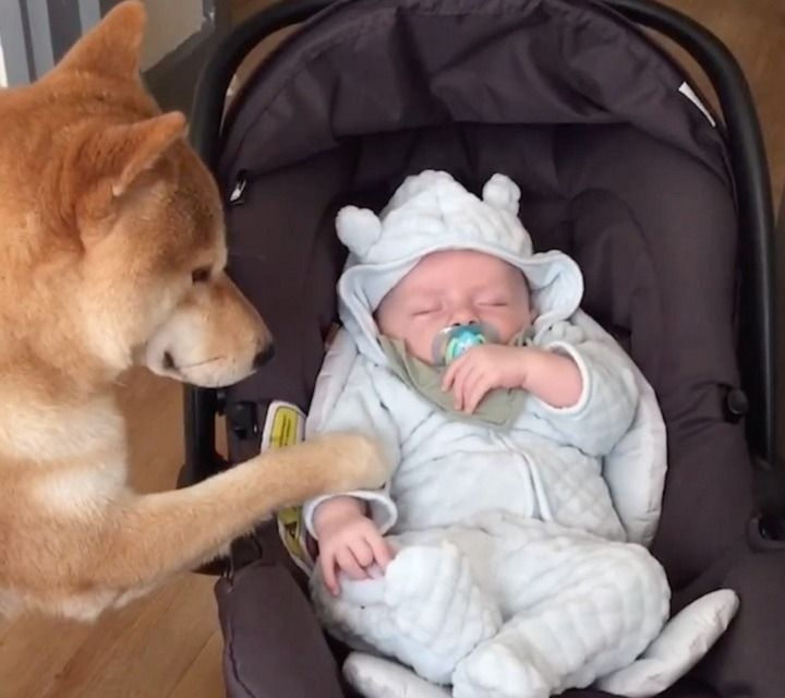 Dogs reaction to mom bringing home newborn baby has