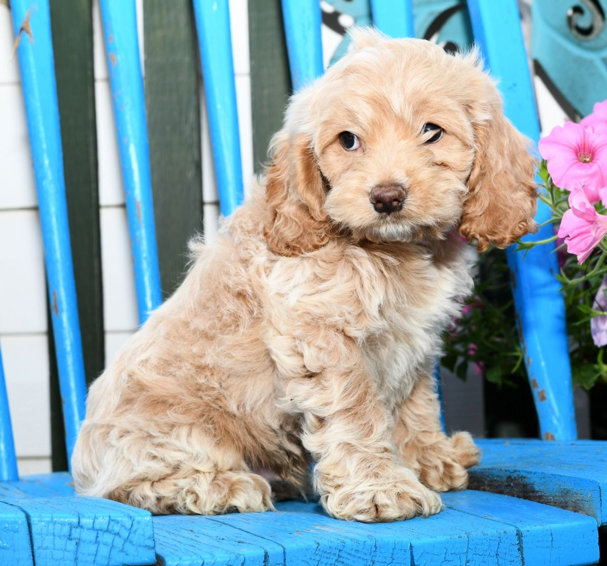Puppies For Sale Cockapoo Puppies Lancaster Puppies Puppies