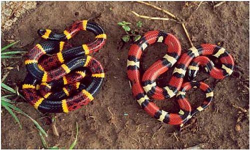 Coral snake vs Milk Snake | asd | Coral snake, Snake ...