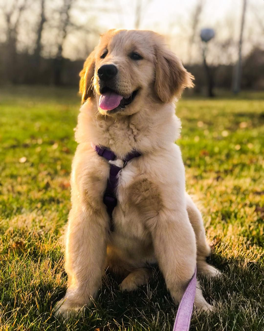 Pin By Allison Price On Cuties Puppies Golden Retriever Puppy Dogs Golden Retriever
