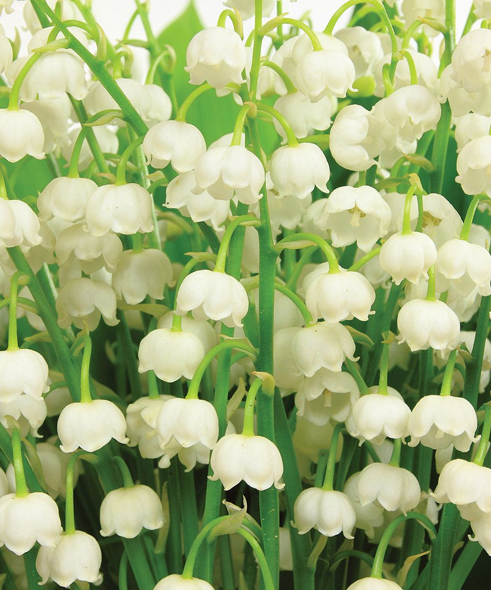 Convallaria Lily Of The Valley Bulb Set Of 32 Bulb Flowers Citronella Plant Planting Flowers