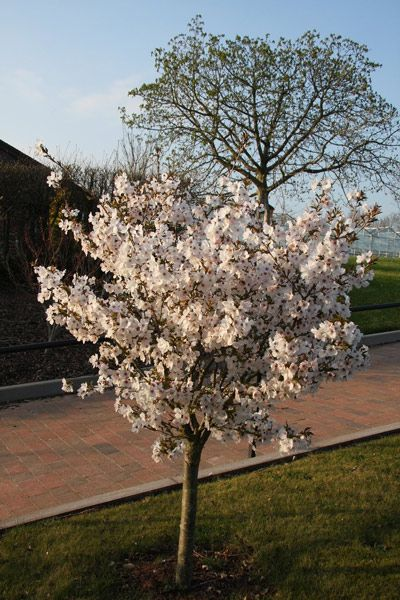 This white flowering cherry tree the bride is perfect for a this white flowering cherry tree the bride is perfect for a smaller garden because the pure white double flowering blossoms last very well mightylinksfo