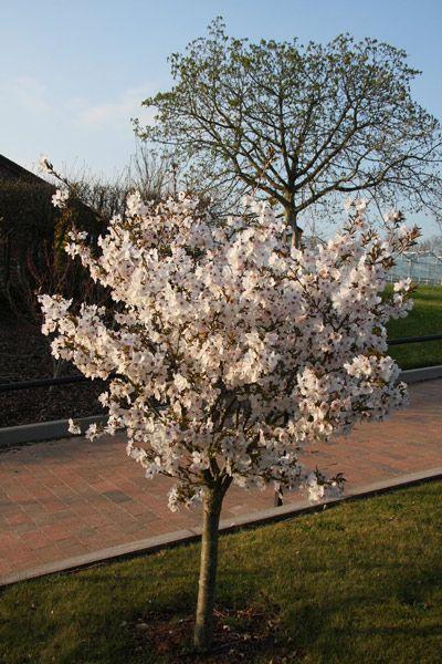 Prunus The Bride Ornamental Cherry Small Garden Trees Uk Small Trees For Garden Ornamental Cherry