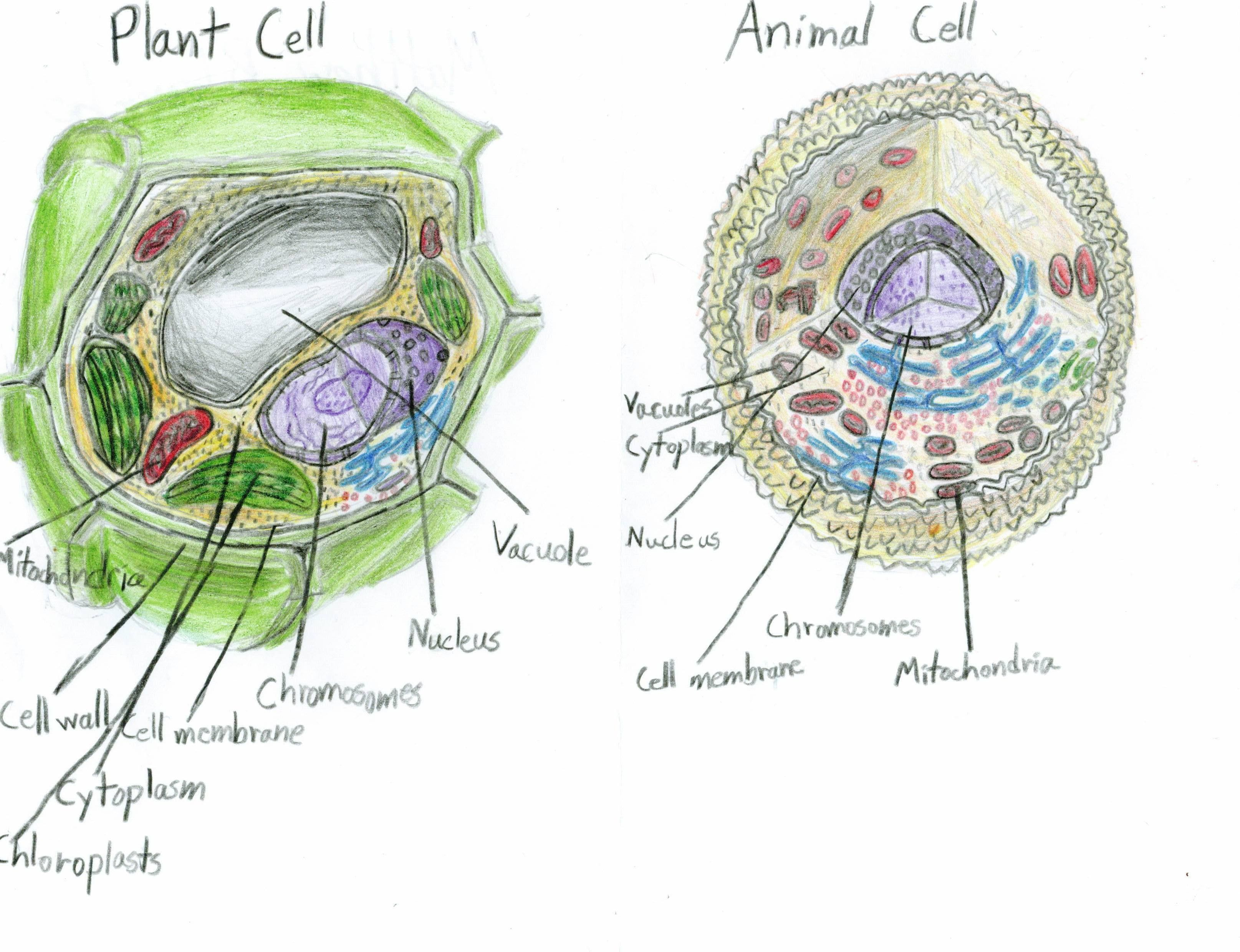 Plant And Animal Cells Diagram School Scene Science Shenanigans Cell