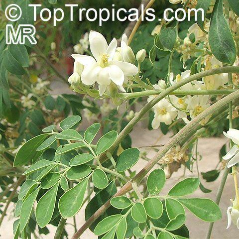 Flower Of Moringa Oleferia Drumstick Tree Moringa Oleifera Horseradish Tree Moringa Oleifera Tree