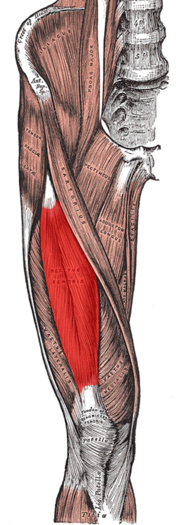 Rectus Femoris Muscle The golden rule about eating before you sleep ...