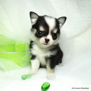 Bg S Chihuahua Louisiana Akc Chihuahua Puppies For Sale Bg S
