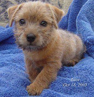 Norfolk Terrier Puppy Sherwood Oregon Sooooo Cute Norfolk