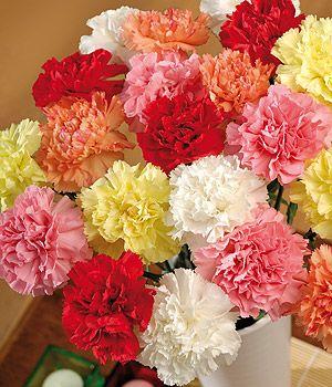 Carnations Carnation Flower Birth Flowers January Flower