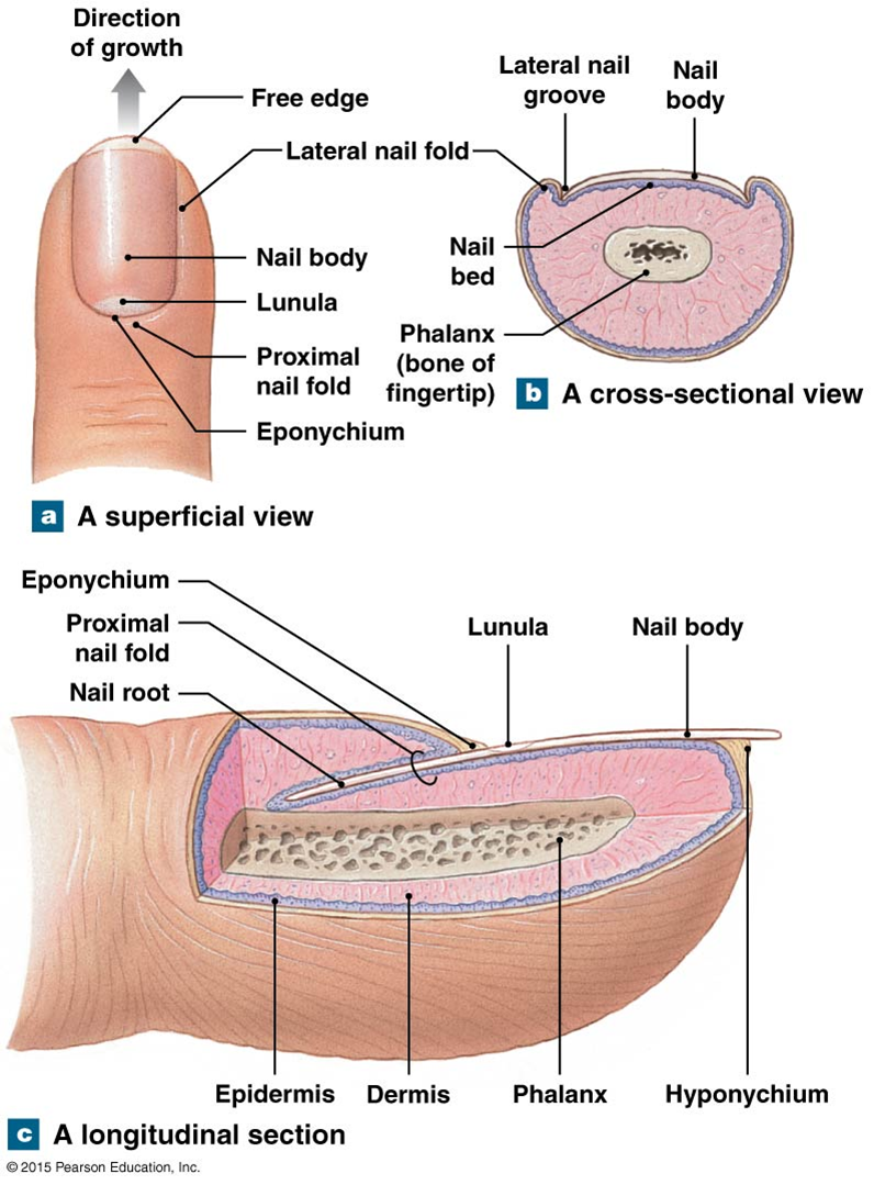 The structure of a nail. | Anatomy and physiology diagrams ...