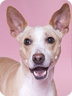 Chicago Il Cattle Dog Basenji Mix Meet Princess A Dog For