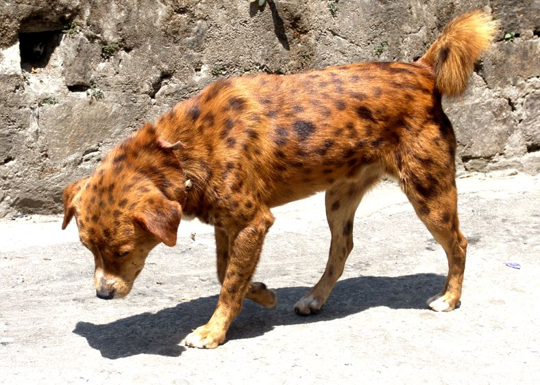 Spotted Dog From Kalimpong   Mongrel   Wikipedia, The Free Encyclopedia