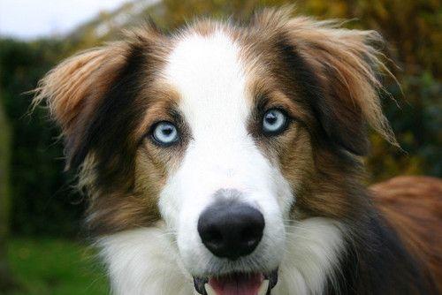 Blue Eyed Brown Border Collie Welsh Sheepdog Dogs Unique Dog