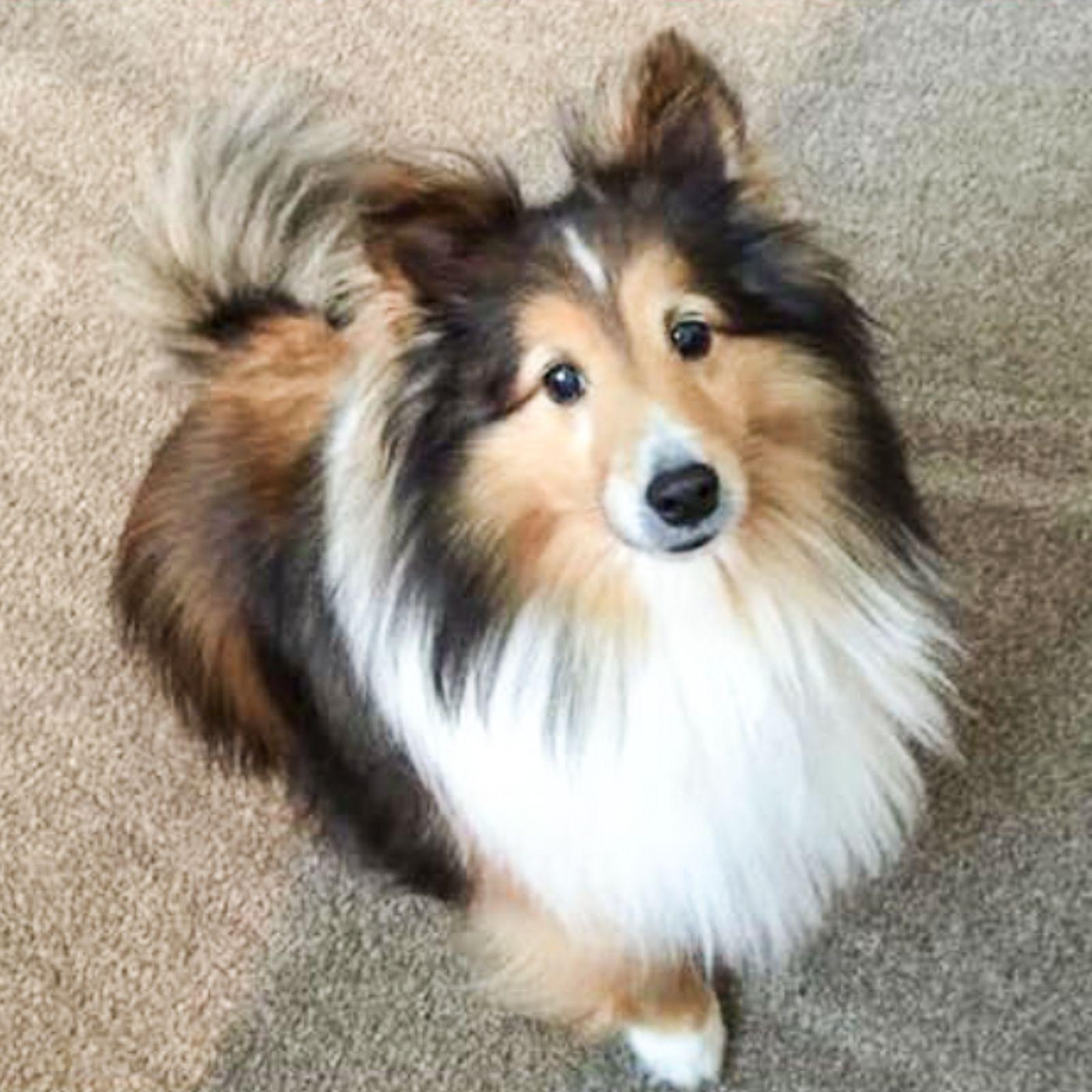 lost dog shetland sheepdog sheltie solon oh united states