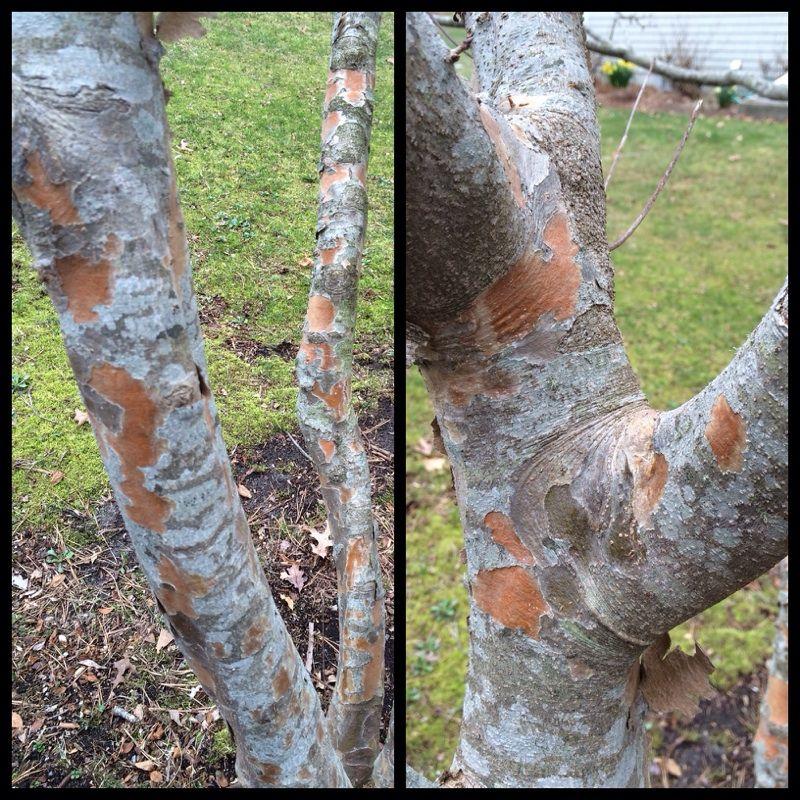 Flaking Bark On Kousa Dogwood Kousa Dogwood Dogwood Annual Plants