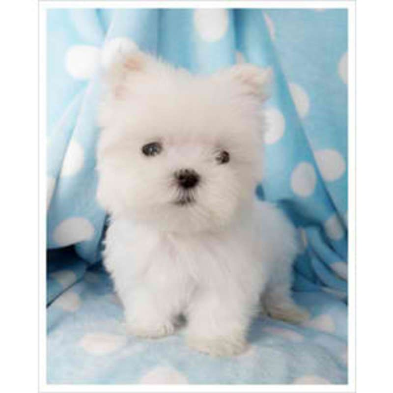 Maltese Puppies In San Antonio Texas Hoobly Classifieds Cute Animals Maltese Puppy Teacup Puppies Maltese
